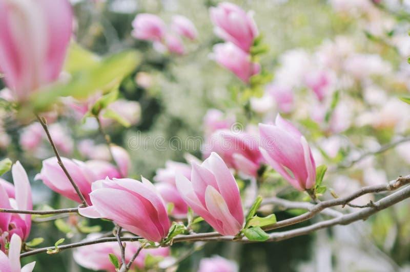 Fiore della magnolia di Yulan in primavera Rosa, jane immagini stock