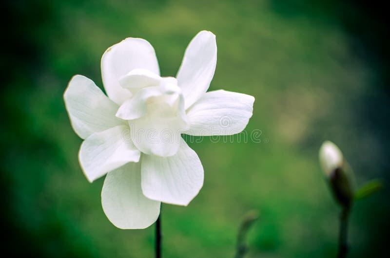Fiore della magnolia della fine bianca su immagini stock libere da diritti