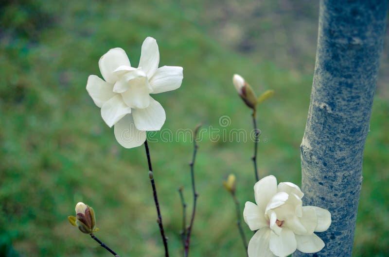Fiore della magnolia della fine bianca su fotografia stock libera da diritti