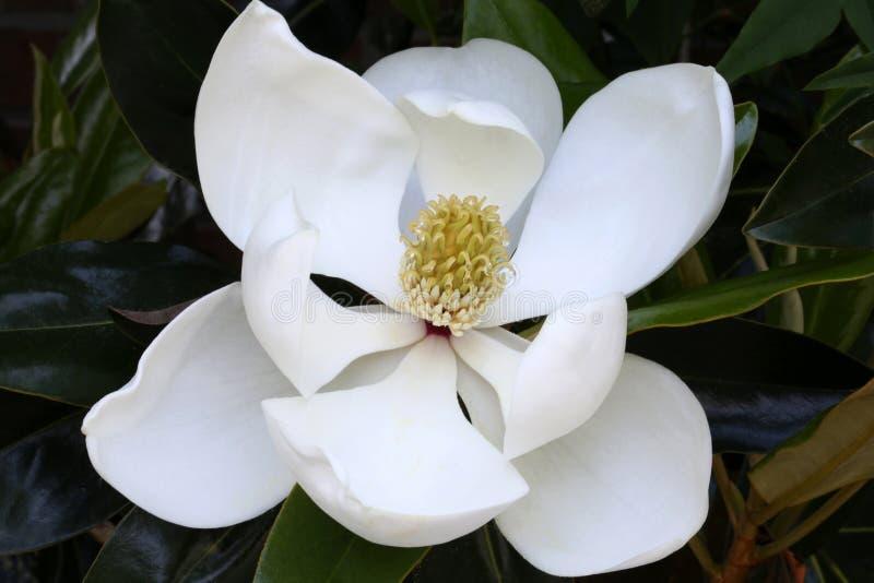 Fiore della magnolia, macro fotografia stock