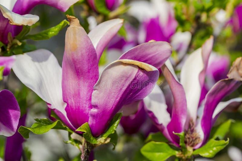 Fiore della magnolia nel bianco e nel colore di margenta fotografie stock libere da diritti