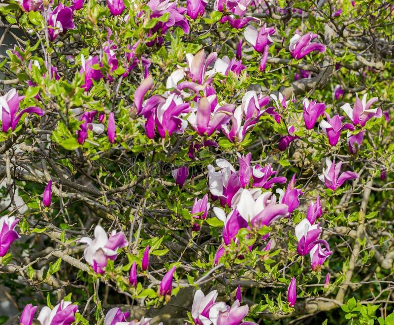 Fiore della magnolia nel bianco e nel colore di margenta fotografie stock