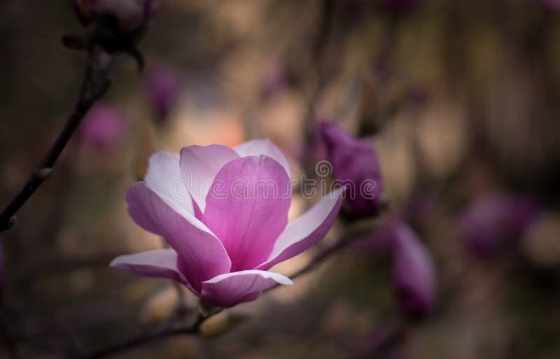 Fiore della magnolia in primavera fotografia stock libera da diritti