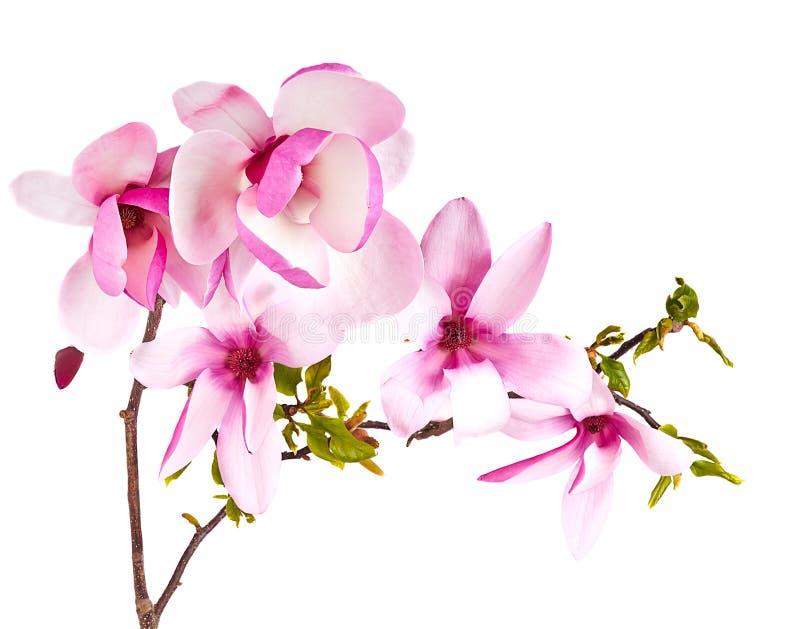 Fiore della magnolia su bianco immagini stock libere da diritti