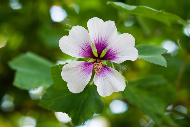 Fiore della malva di albero, maritima del Lavatera con i petali della lavanda immagini stock libere da diritti