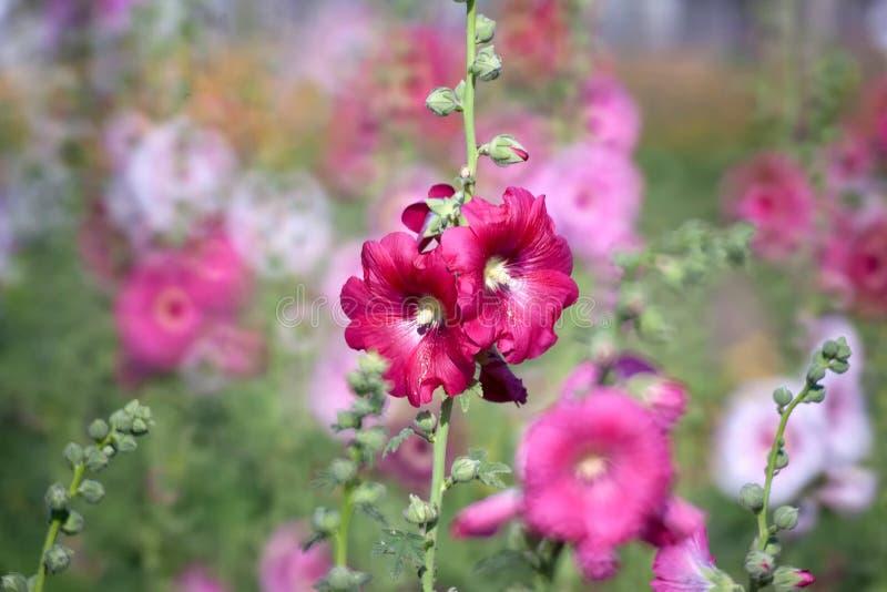 Fiore della malvarosa fotografia stock