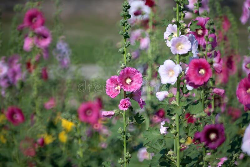 Fiore della malvarosa immagine stock