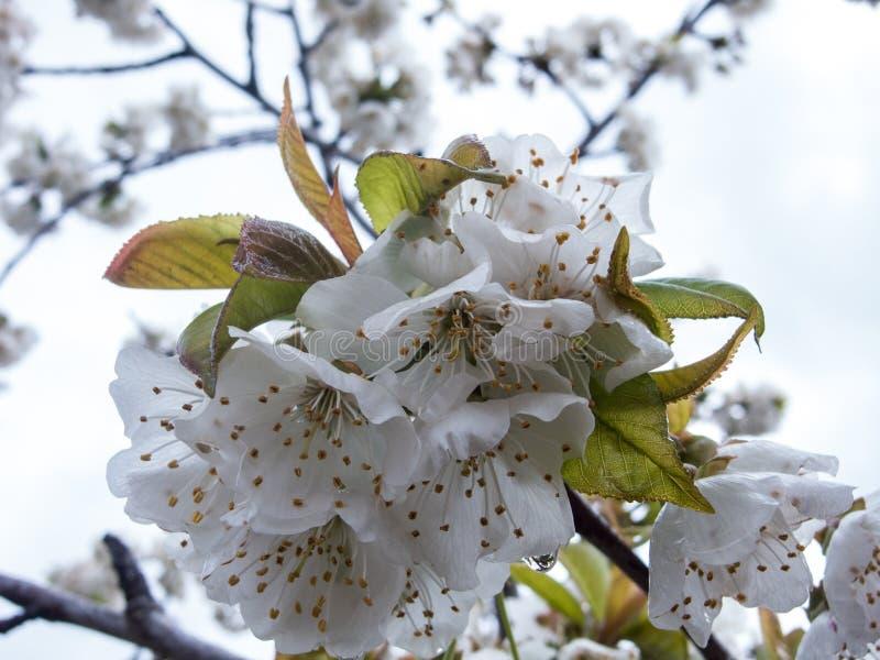 Fiore della mandorla fotografie stock libere da diritti