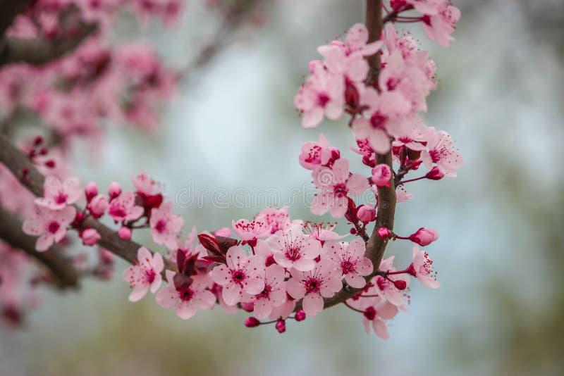 Fiore della mandorla con le tonalità rosa in piena fioritura a Badamwari Srinagar nel Kashmir con fondo fotografie stock libere da diritti