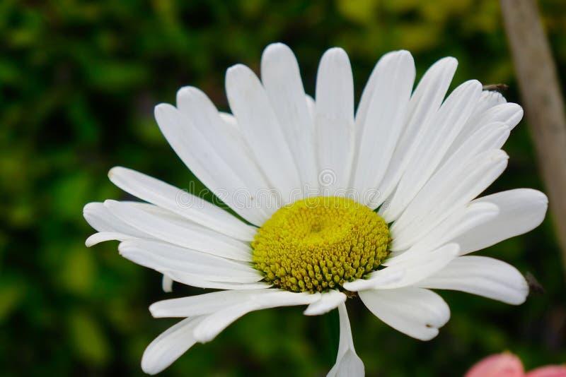 Fiore della margherita bianca della margarita in primavera fotografia stock libera da diritti