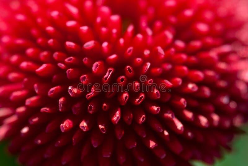 Fiore della margherita del primo piano fotografie stock
