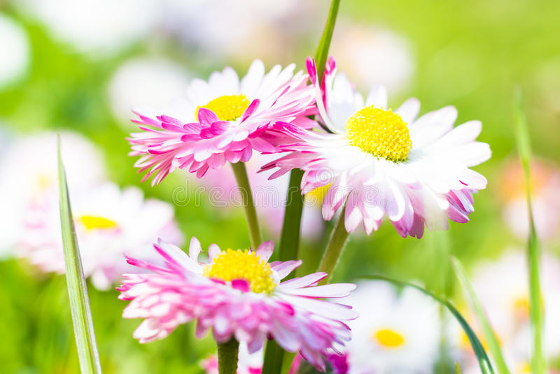 Fiore della margherita del primo piano del giardino della primavera immagine stock libera da diritti
