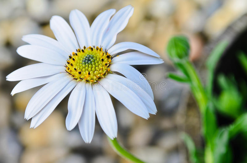 Download Fiore Della Margherita Di Osteospermum Fotografia Stock - Immagine di bianco, margherita: 30831274