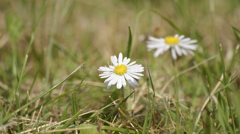 Fiore della margherita nel giardino fotografie stock libere da diritti