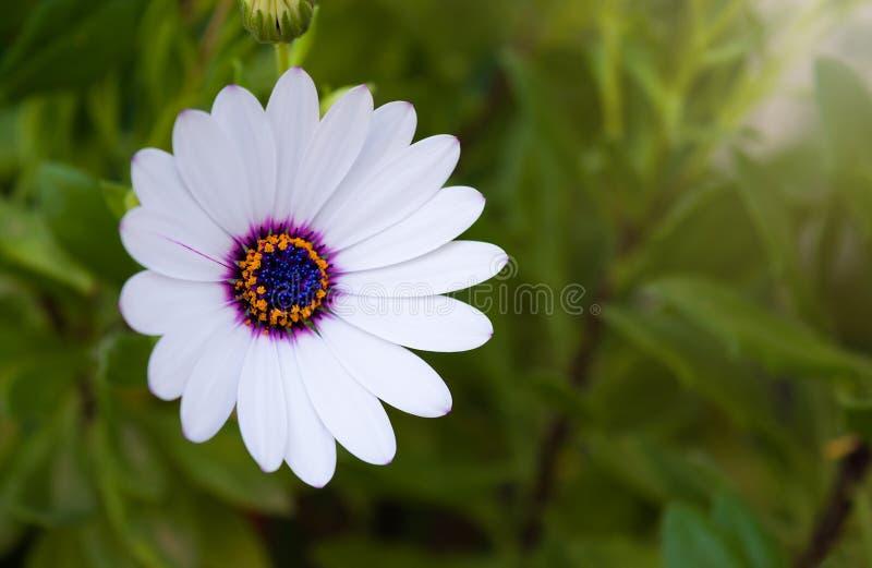 Fiore della margherita porpora e bianca immagine stock