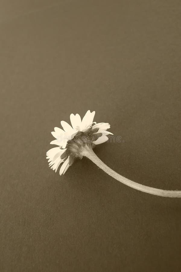 Fiore della margherita, seppia immagine stock libera da diritti