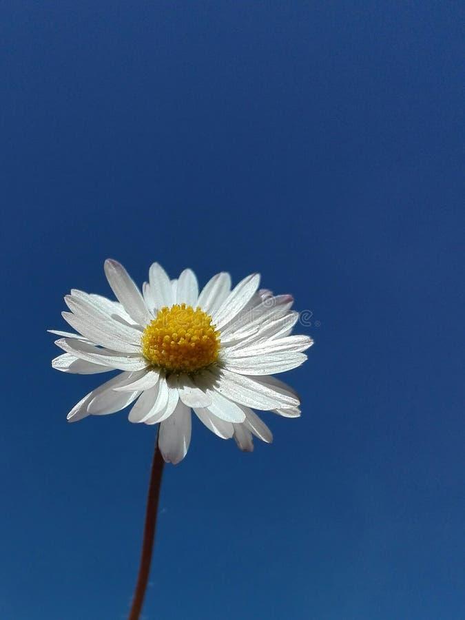 Fiore della margherita sotto il cielo blu fotografie stock libere da diritti