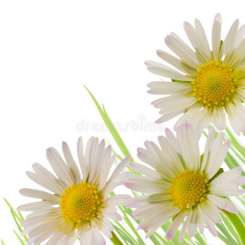 Fiore della margherita, stagione di sorgente di disegno floreale fotografia stock libera da diritti