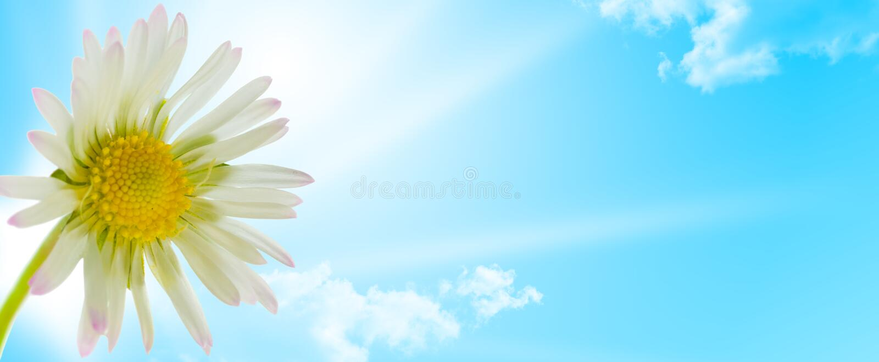 Fiore della margherita, stagione di sorgente di disegno floreale fotografie stock