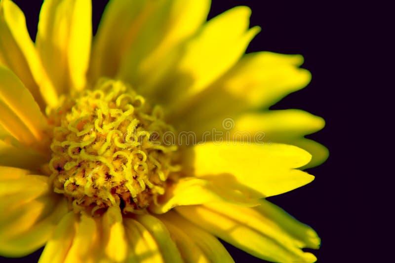 Fiore della margherita su fondo nero fotografie stock libere da diritti