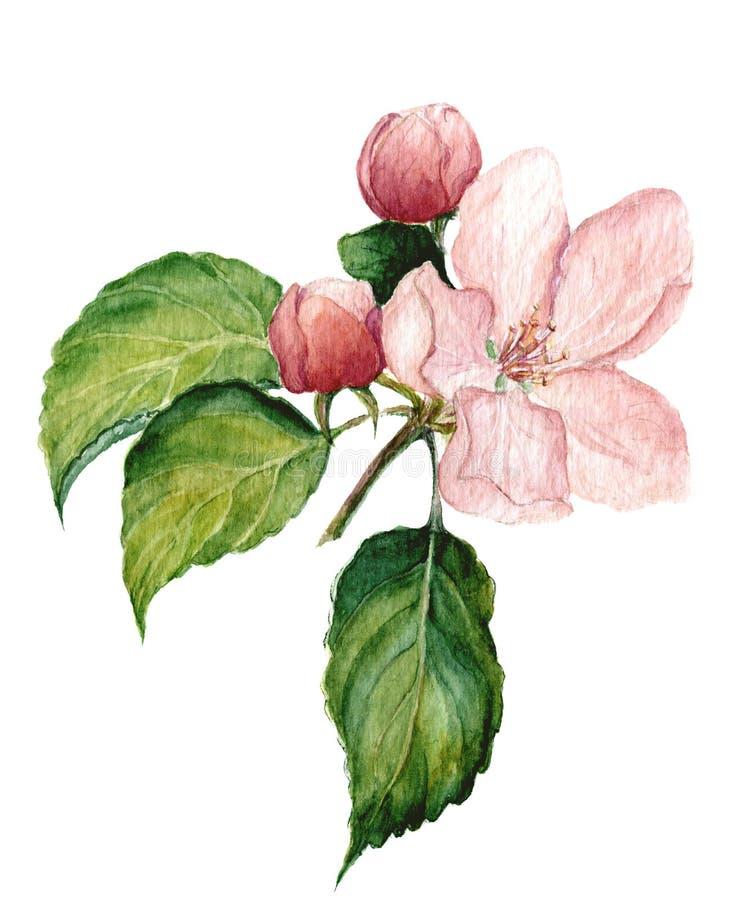 Fiore della mela dell'acquerello Illustrazione isolata botanica illustrazione di stock