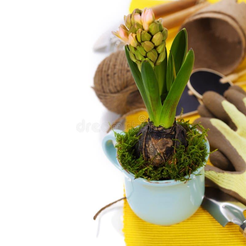 Fiore della molla in tazza e strumenti di giardino fotografia stock libera da diritti
