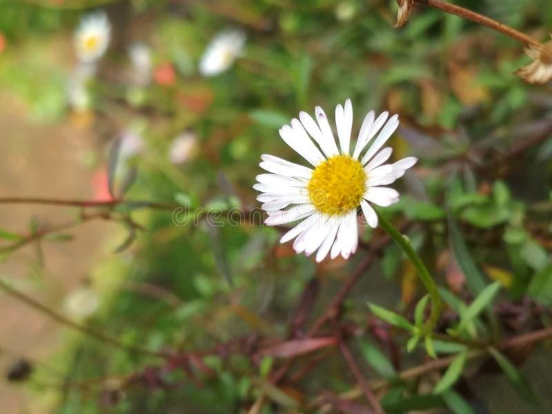 Fiore della montagna fotografie stock
