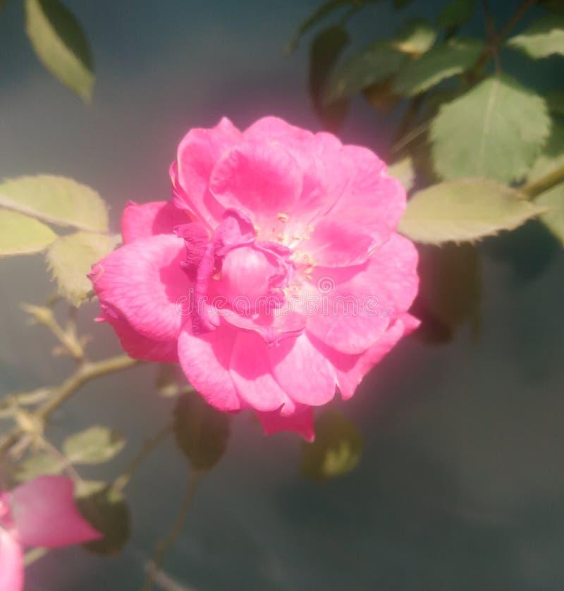 Fiore della natura delle foglie e di Rosa fotografia stock