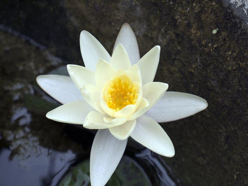 Fiore della ninfea di Nenúfar fotografia stock libera da diritti