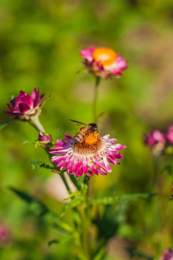 Fiore della paglia del primo piano fotografia stock