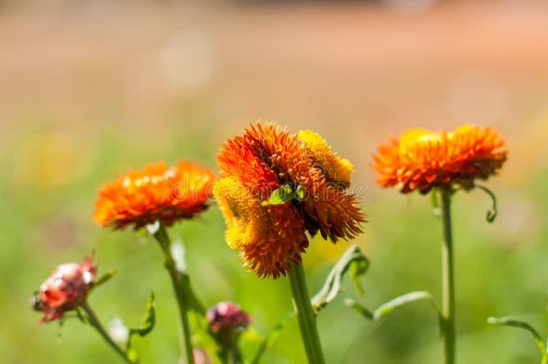 Fiore della paglia del primo piano immagine stock