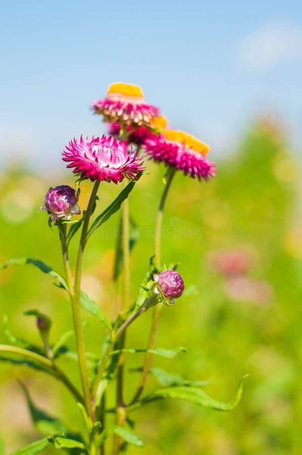 Fiore della paglia del primo piano fotografia stock libera da diritti