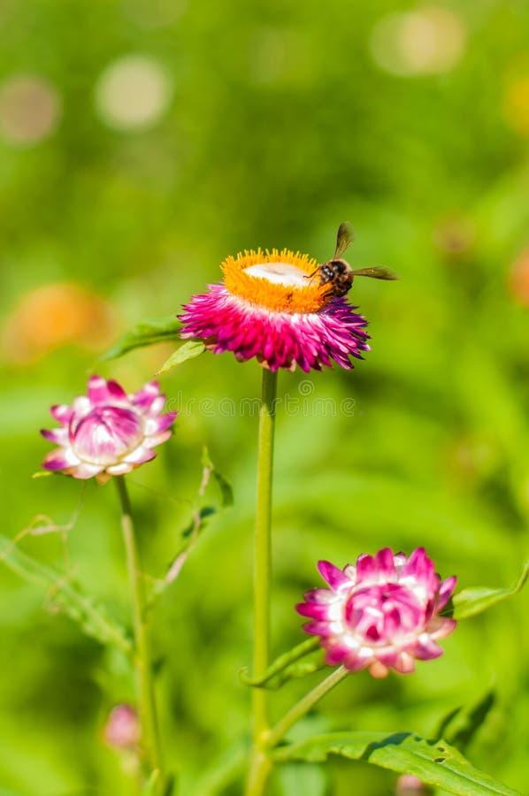 Fiore della paglia del primo piano eterno fotografie stock libere da diritti