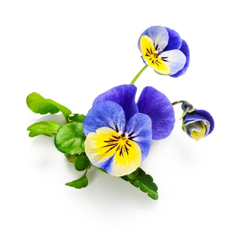 Fiore della pansé fotografie stock libere da diritti