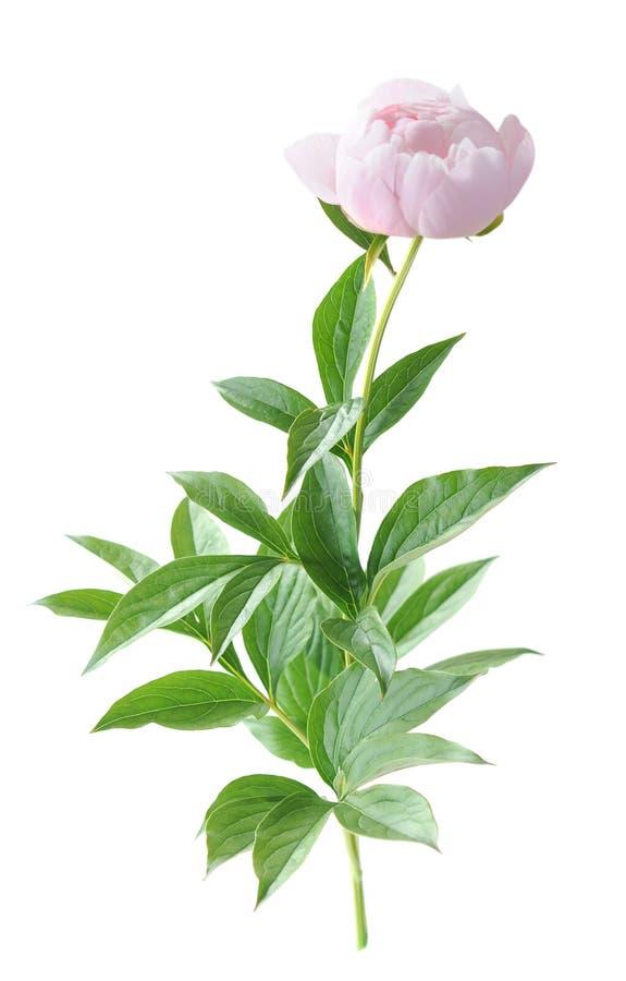 Fiore della peonia fotografia stock