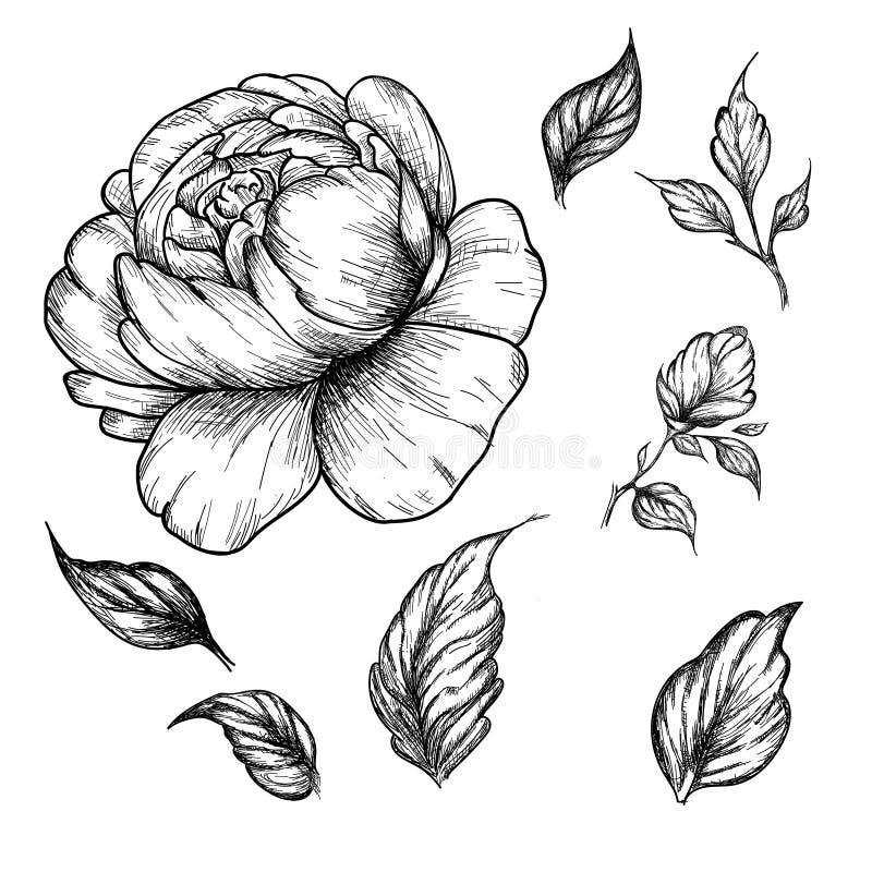 Fiore della peonia del Wildflower Arte botanica disegnata a mano isolata su fondo bianco illustrazione vettoriale
