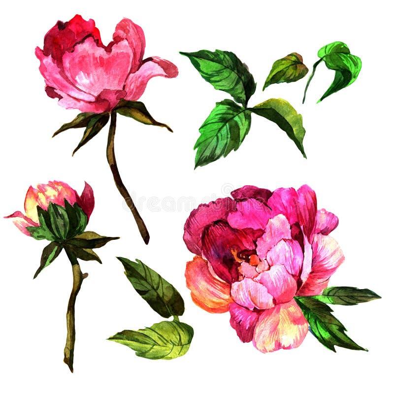 Fiore della peonia del Wildflower in uno stile dell'acquerello isolato royalty illustrazione gratis
