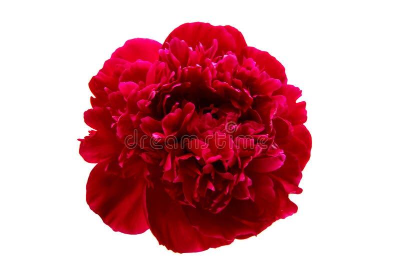 Fiore della peonia isolato fotografia stock libera da diritti