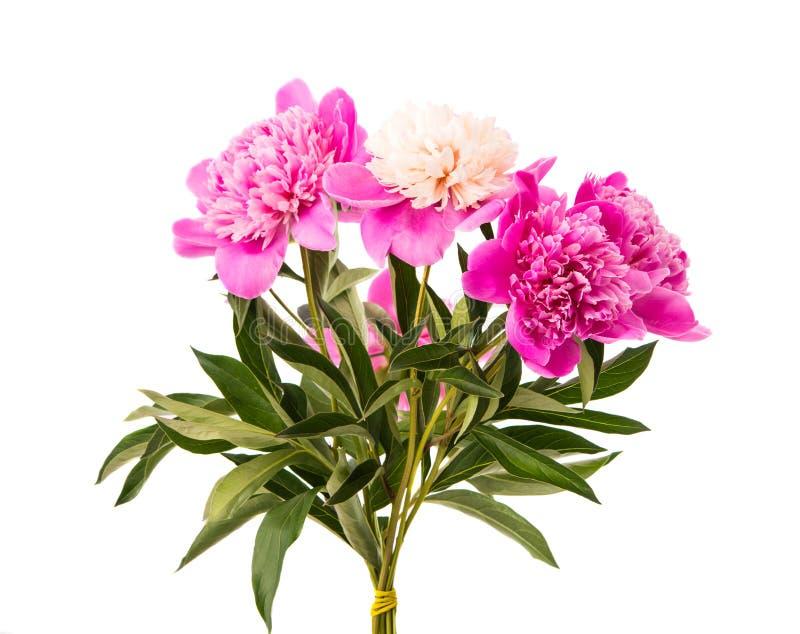 Fiore della peonia isolato fotografia stock