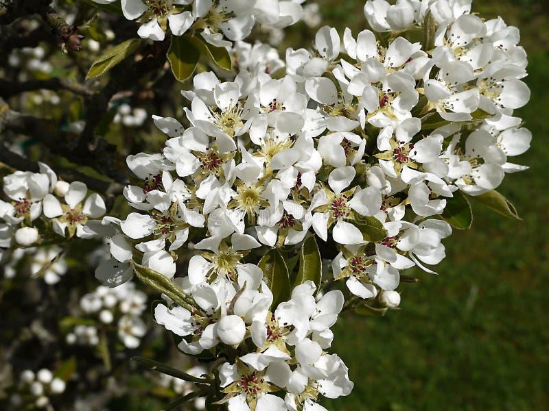 Fiore della pera in giardino in Burnley Inghilterra con molte api fotografia stock libera da diritti
