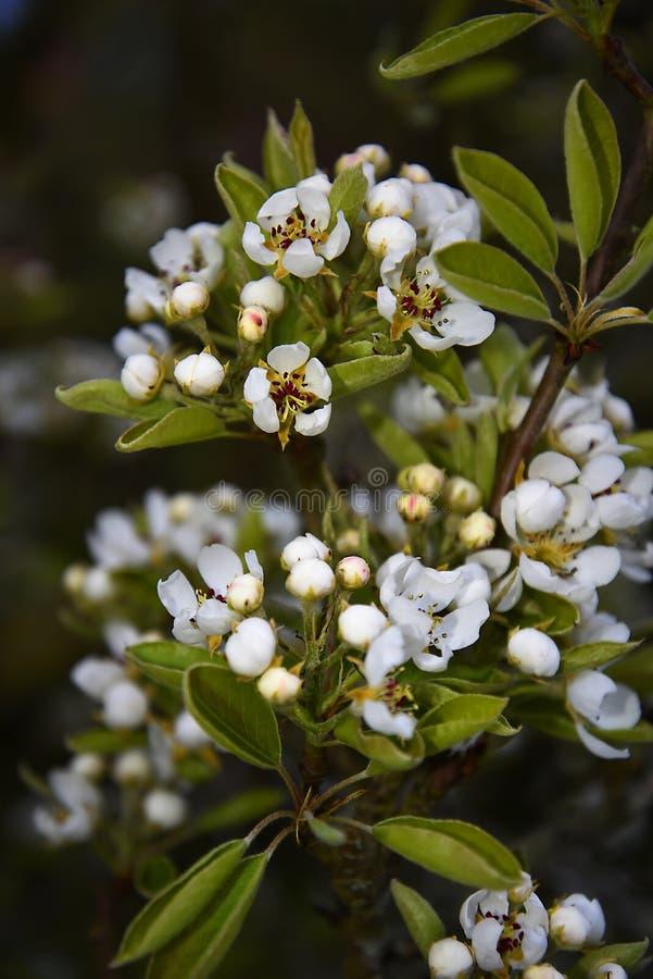 Fiore della pera in giardino in Burnley Inghilterra con molte api immagine stock