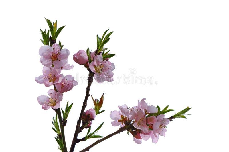 Download Fiore della pesca immagine stock. Immagine di ciliegia - 117980553