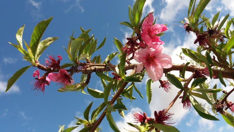 Fiore della pesca in piena fioritura fotografie stock