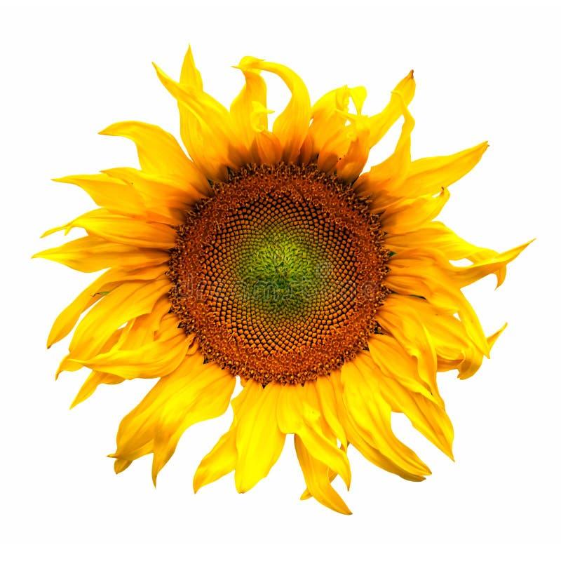 Fiore della pianta del fiore del girasole isolato su bianco fotografie stock libere da diritti