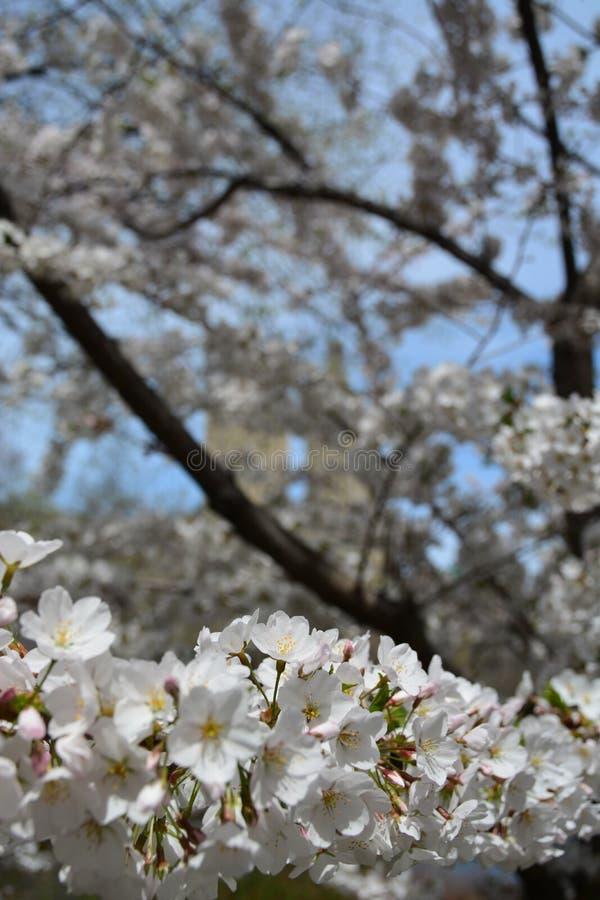 Fiore della primavera in Central Park fotografia stock
