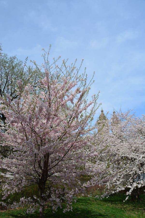 Fiore della primavera in Central Park immagine stock libera da diritti