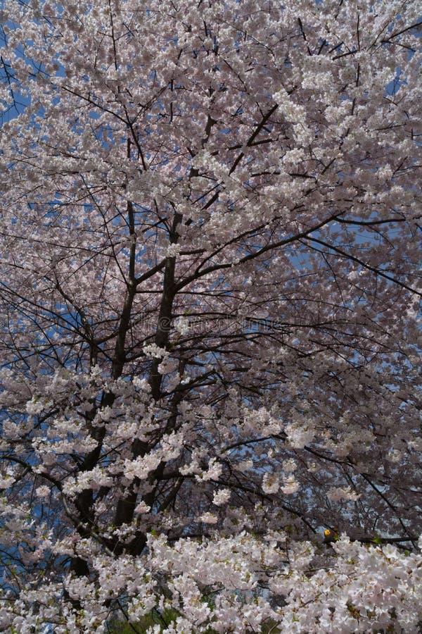 Fiore della primavera in Central Park immagini stock