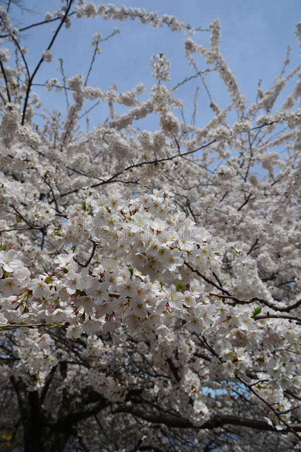 Fiore della primavera in Central Park fotografie stock libere da diritti