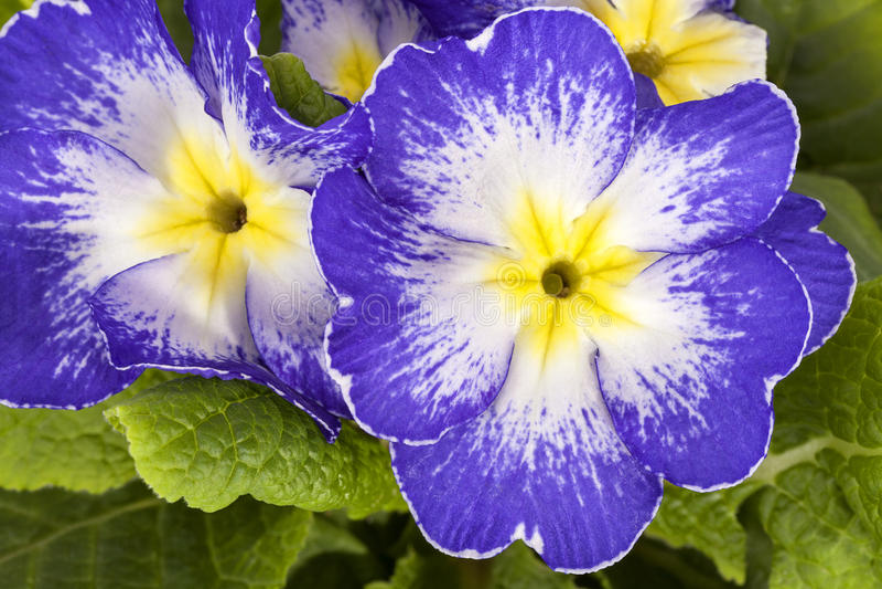 Fiore della primavera della primula viola vulgaris for Primule immagini