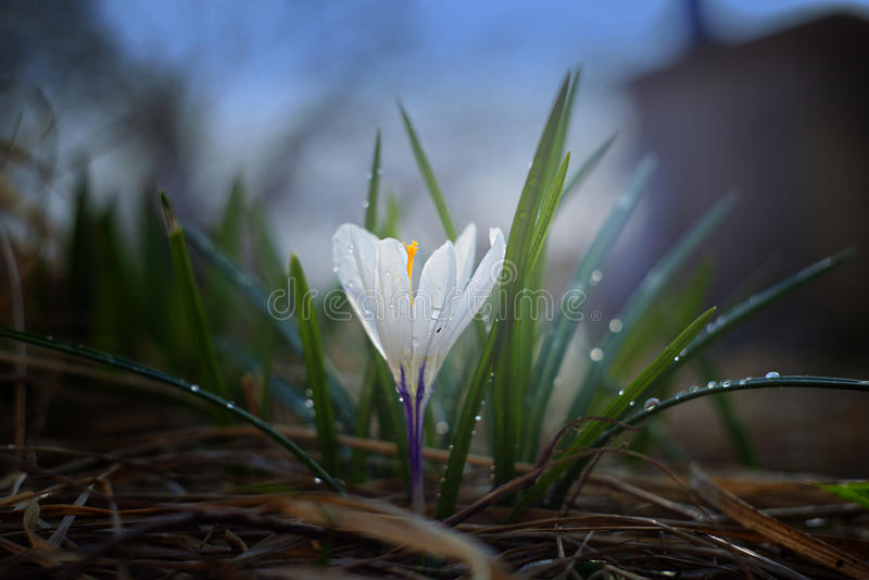 Fiore della primavera un croco nell'illuminazione interessante immagini stock